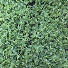 Fresh Afillia Cress (Peashoots)