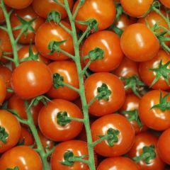 Fresh Cherry Tomatoes on the Vine