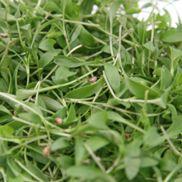 Fresh Micro Salad Coriander Punnet